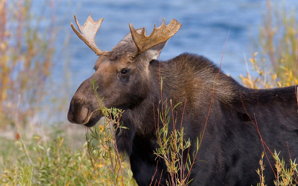 moose pictures wallpapers