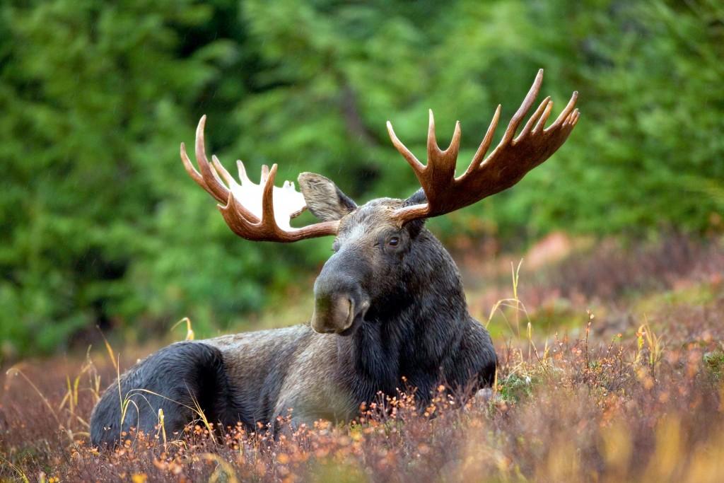 moose widescreen wallpapers