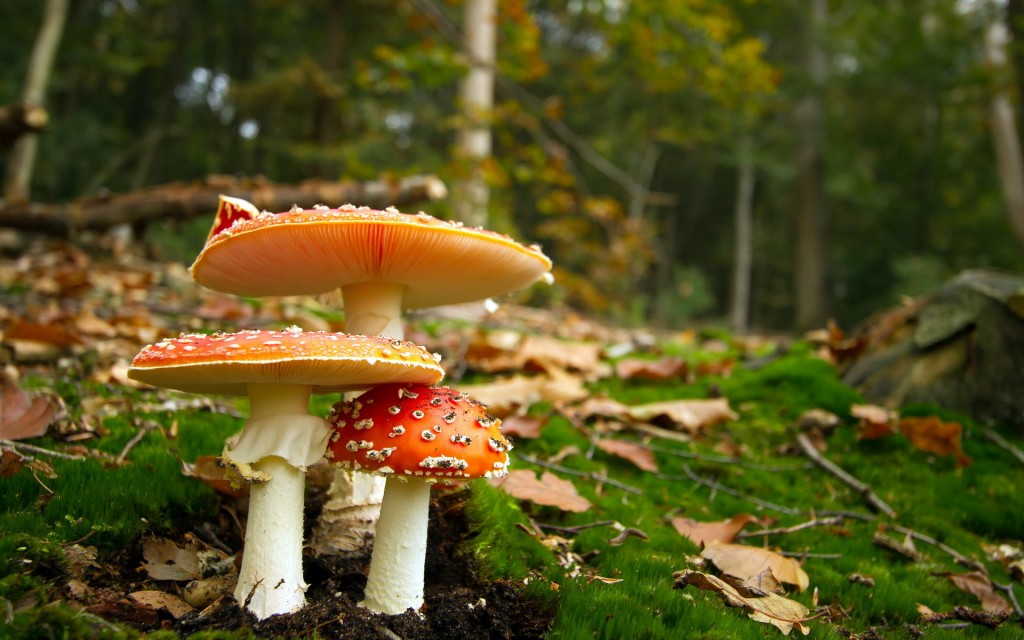 mushroom-wallpaper-27498-28215-hd-wallpapers