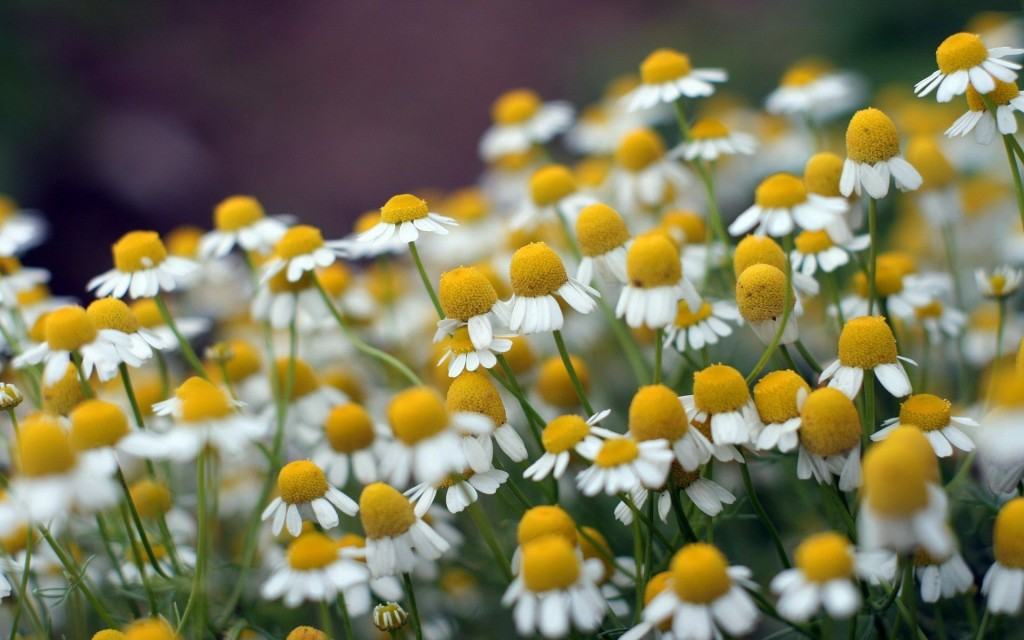 pretty-chamomile-wallpaper-20234-20743-hd-wallpapers