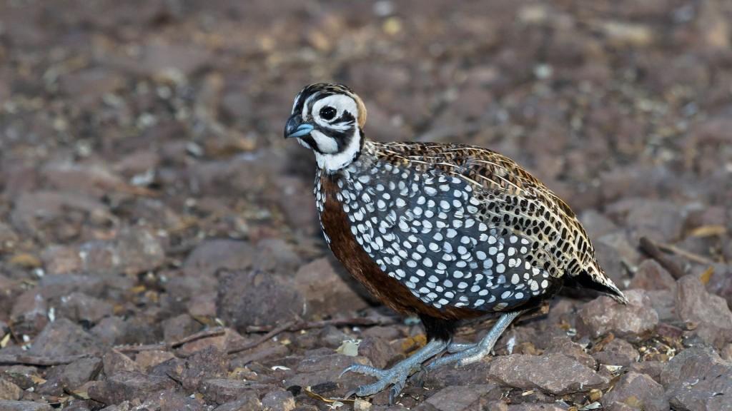 quail bird wallpapers