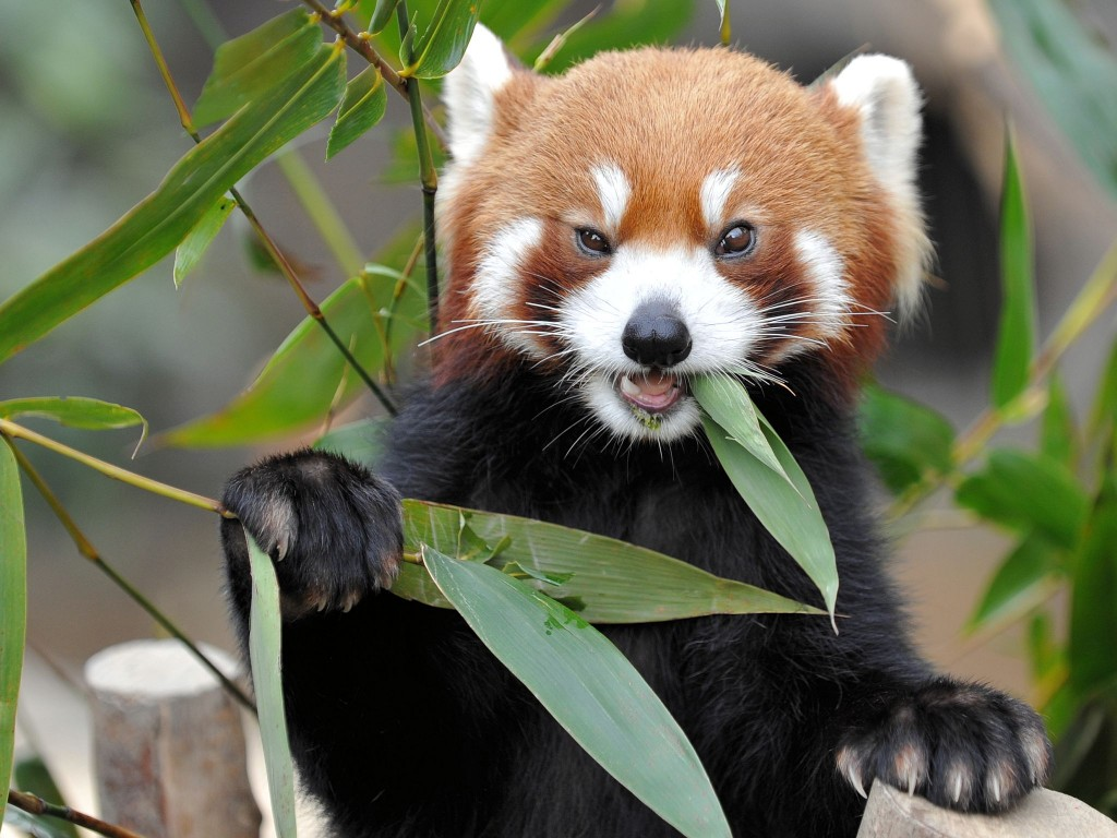 red-panda-27515-28232-hd-wallpapers
