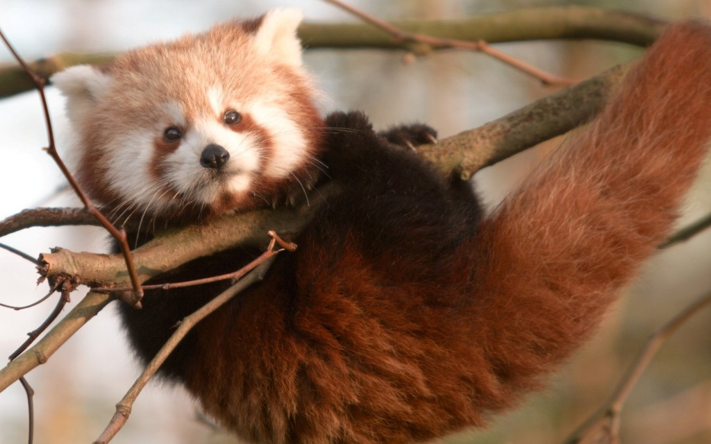 red-panda-27521-28238-hd-wallpapers