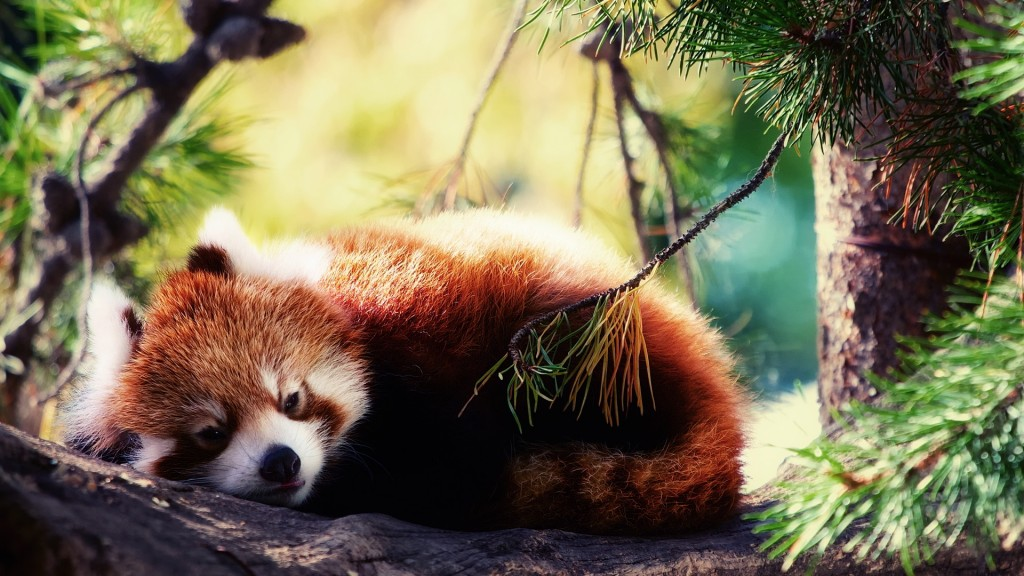 red-panda-27531-28248-hd-wallpapers