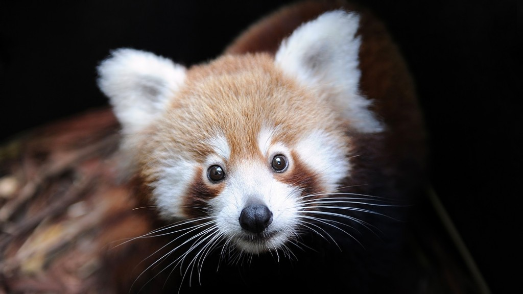 red panda face wallpapers