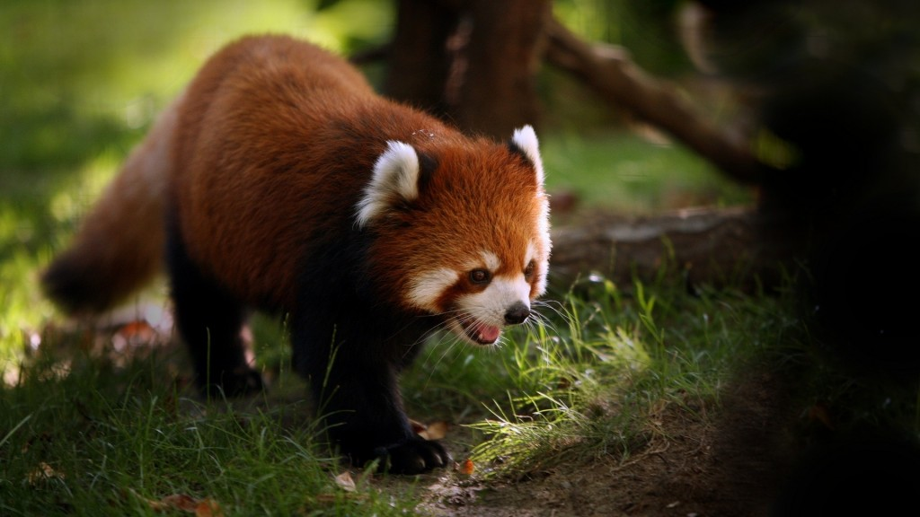red-panda-pictures-27530-28247-hd-wallpapers
