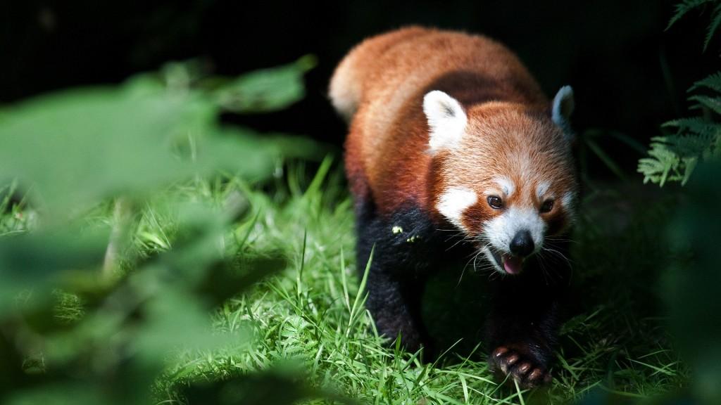 red-panda-wallpaper-27524-28241-hd-wallpapers