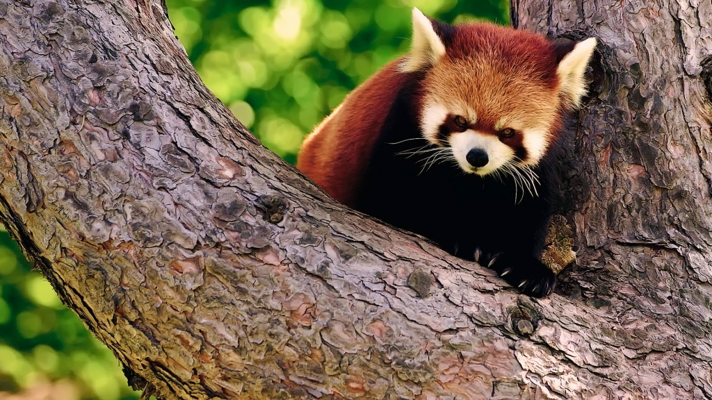 red-panda-wallpaper-27533-28250-hd-wallpapers