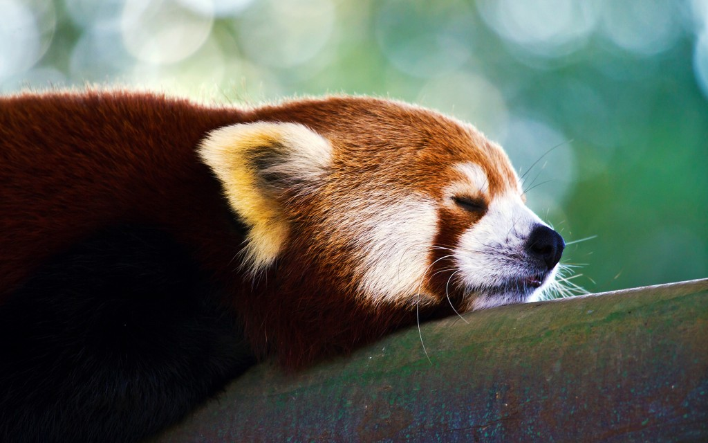 red-panda-wallpapers-27529-28246-hd-wallpapers
