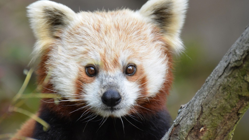 red-panda-wide-wallpaper-50828-52521-hd-wallpapers