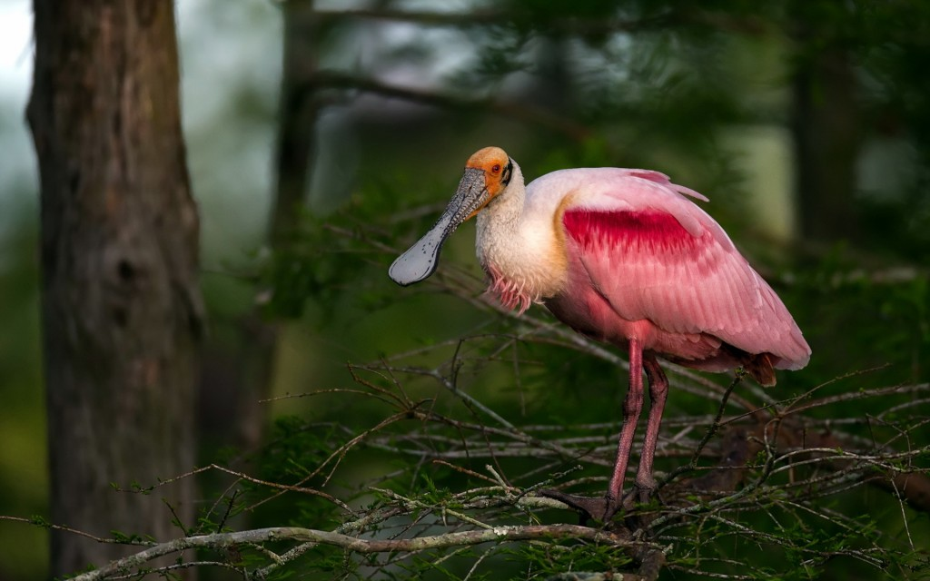 roseate spoonbill wallpapers