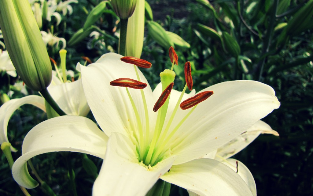 white lily flower wallpapers