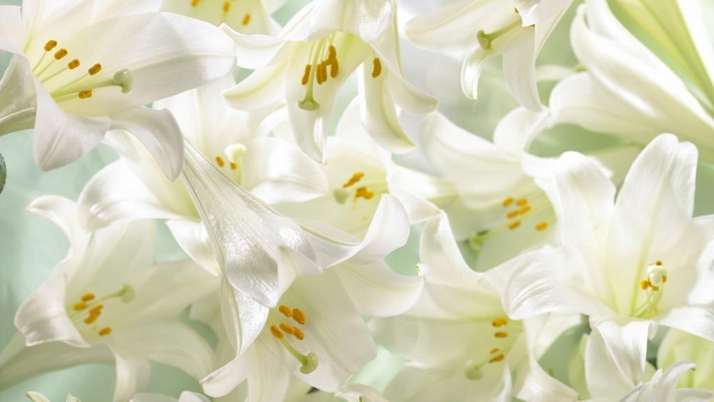 white-lily-flowers-desktop-wallpaper-50634-52326-hd-wallpapers
