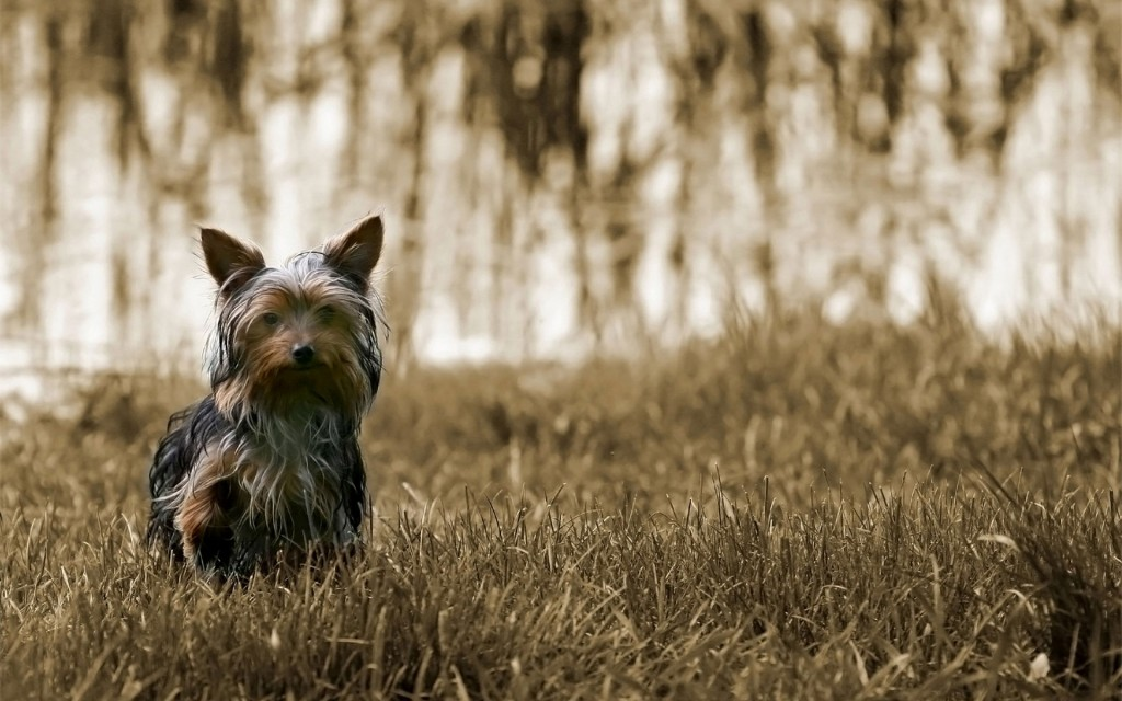 yorkie-pictures-24230-24893-hd-wallpapers