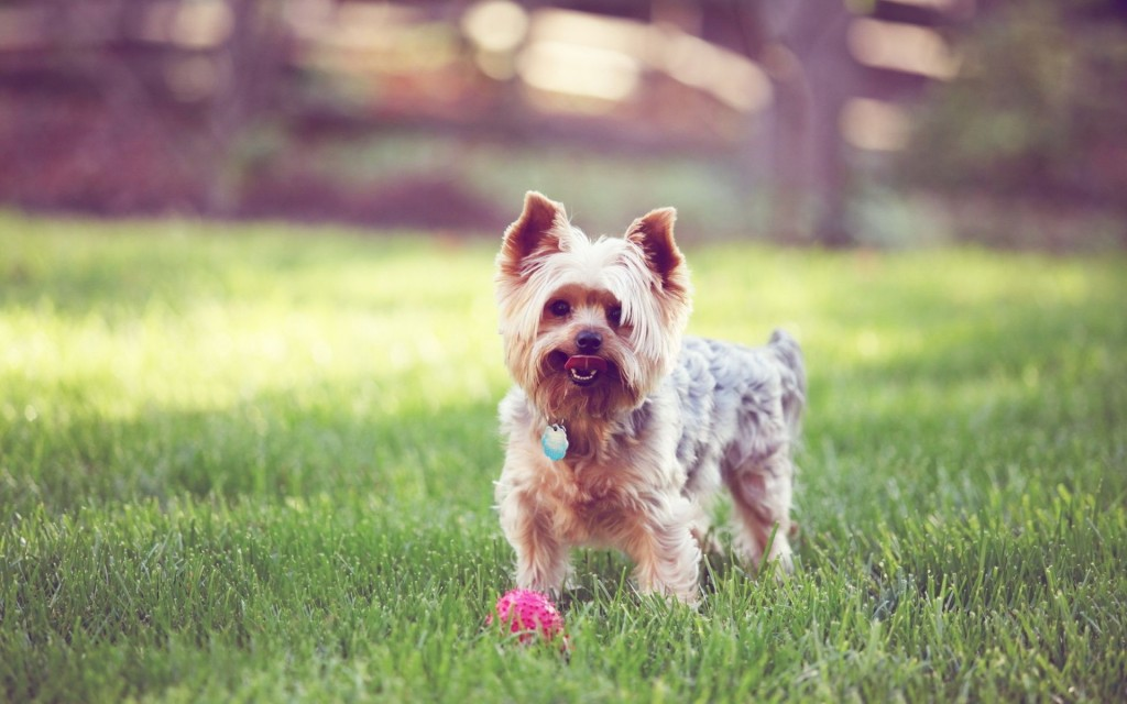yorkshire terrier desktop wallpapers