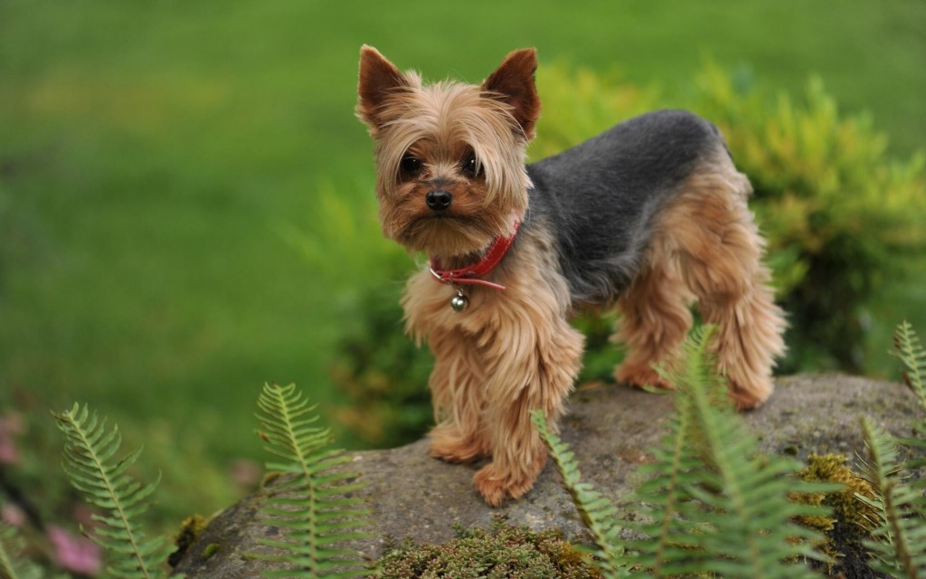 yorkshire-terrier-dog-desktop-wallpaper-51048-52744-hd-wallpapers