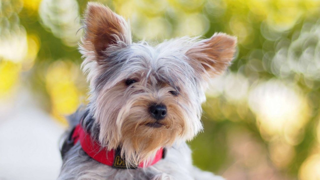 yorkshire terrier dog wallpapers