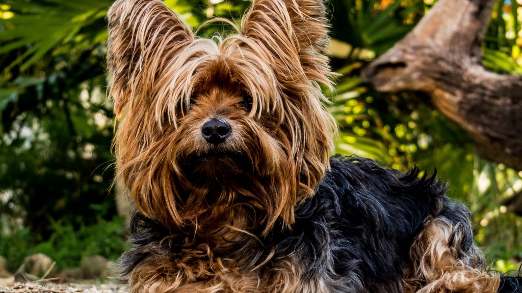 yorkshire terrier dog widescreen wallpapers