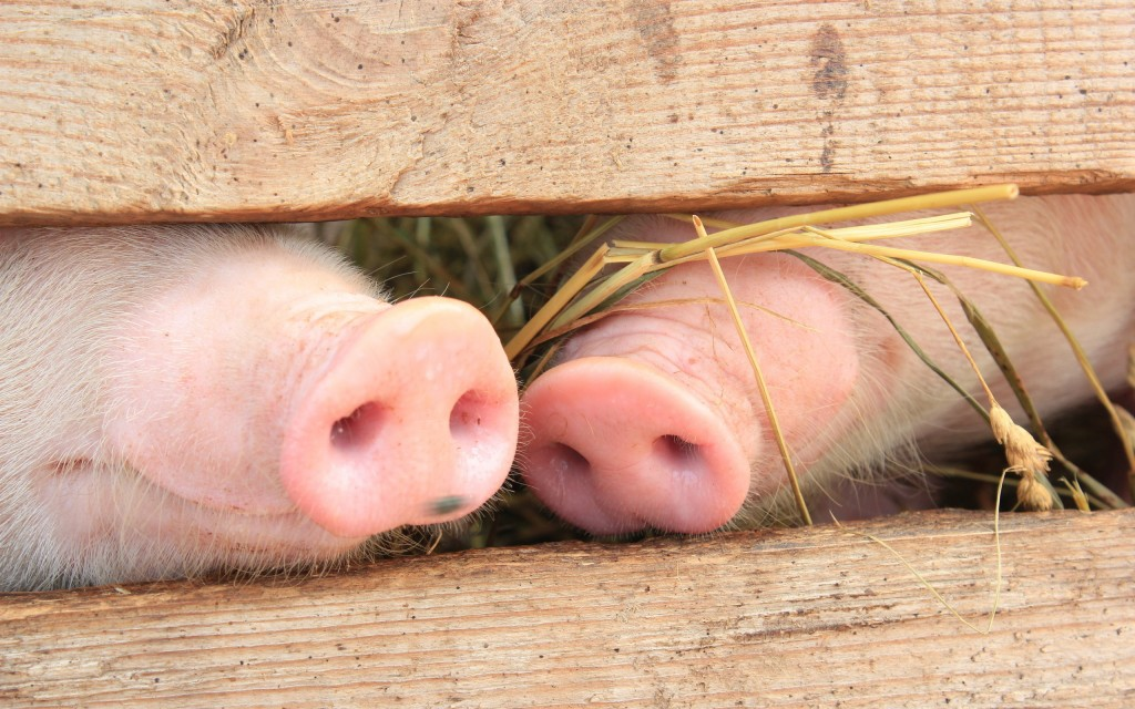 animals pig noses wallpapers