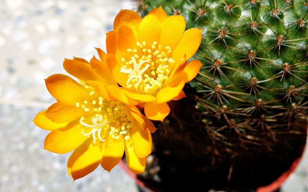 cactus flower wallpapers
