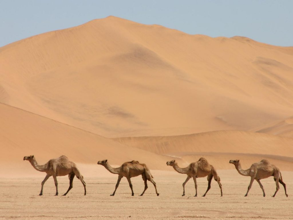 camel computer photos wallpapers