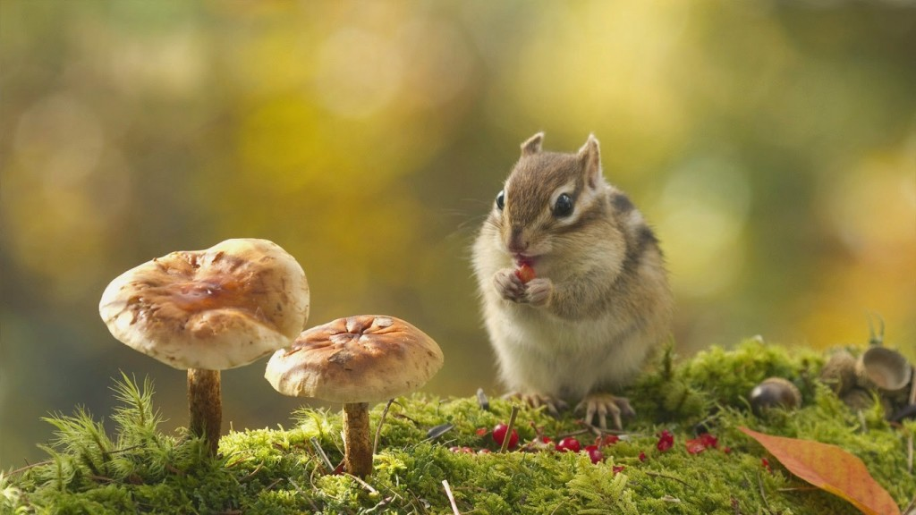 chipmunk pictures wallpapers