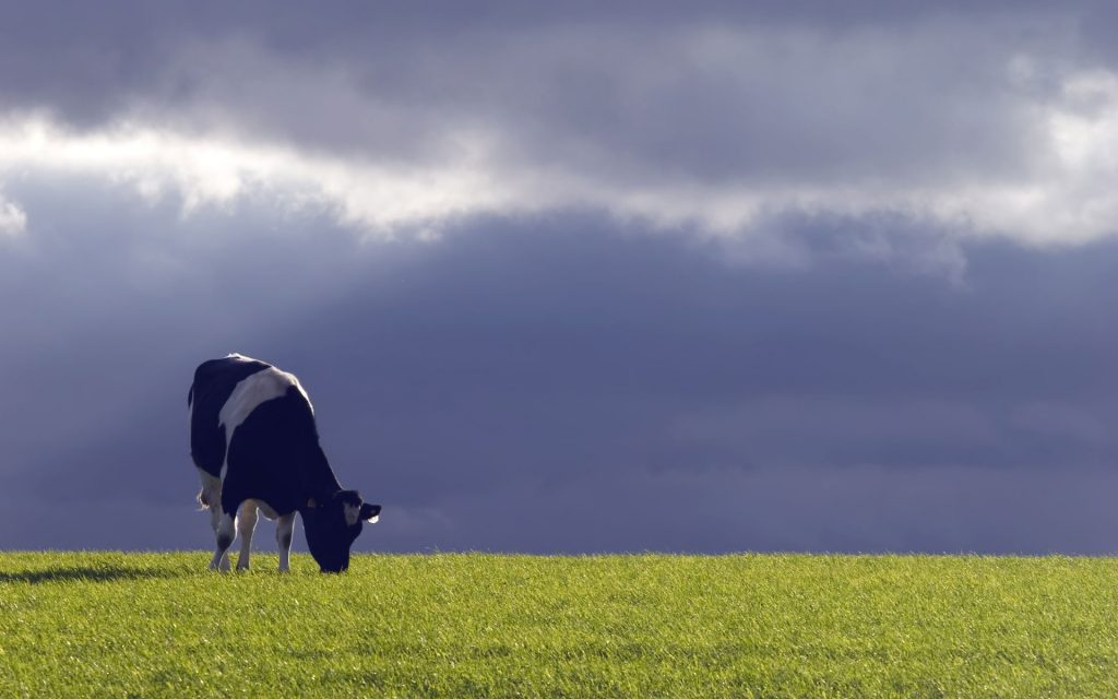 cow grazing desktop wallpapers
