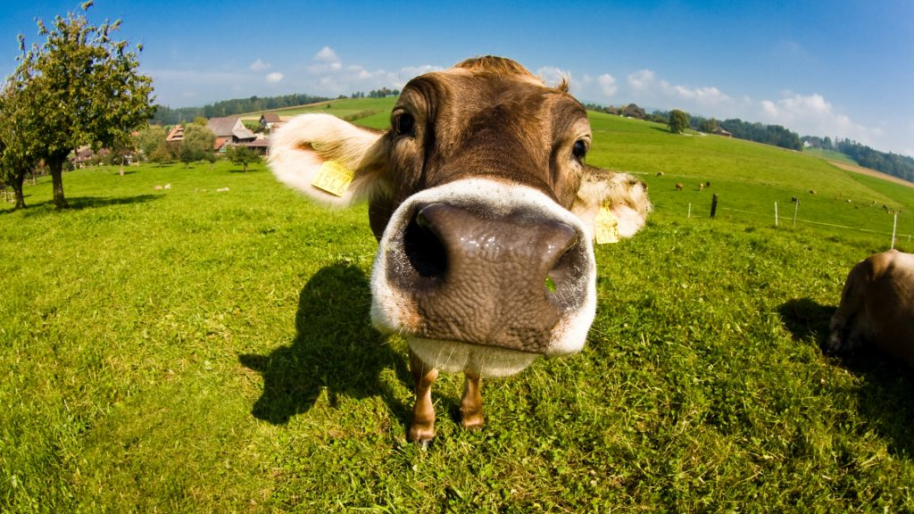 cow up close hd wallpapers