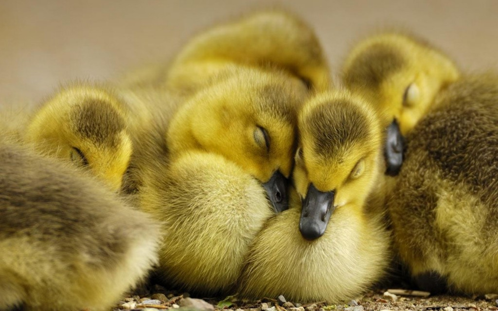 cute duckling wallpapers