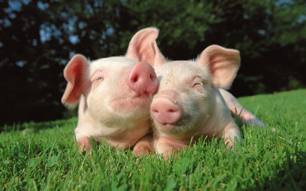 cute pig wallpapers