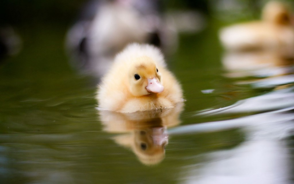 duckling computer wallpapers