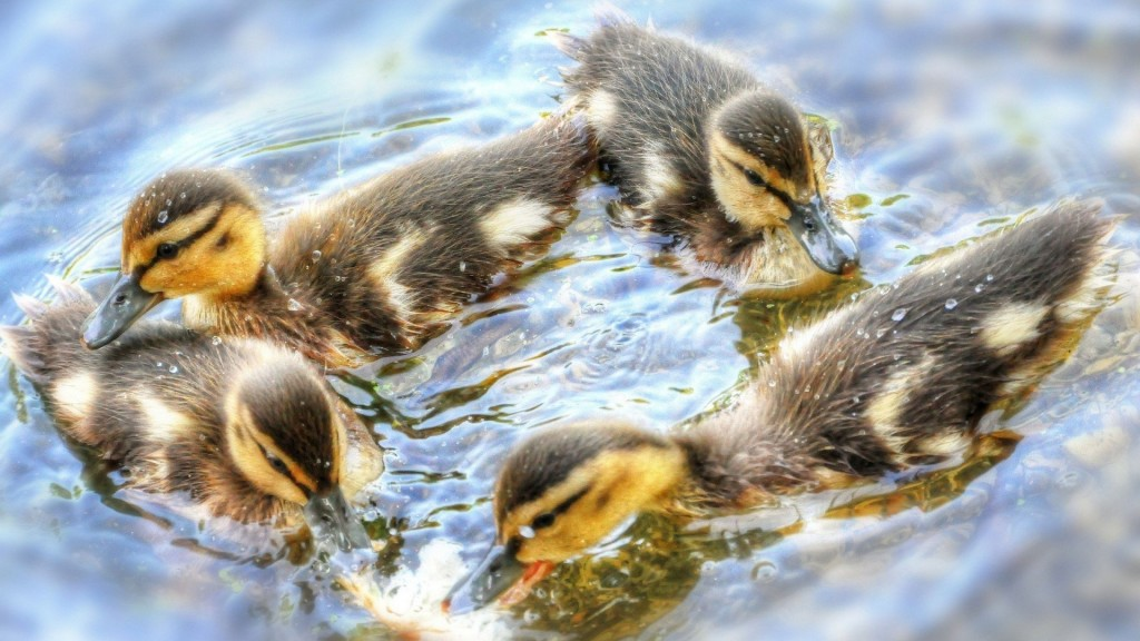 duckling desktop wallpapers