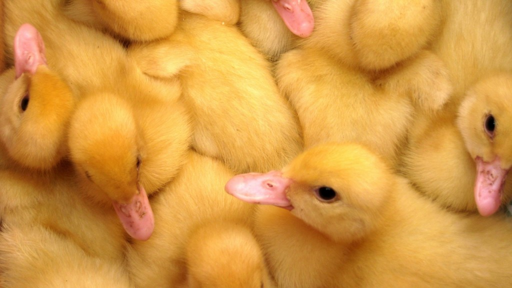 ducklings wallpapers