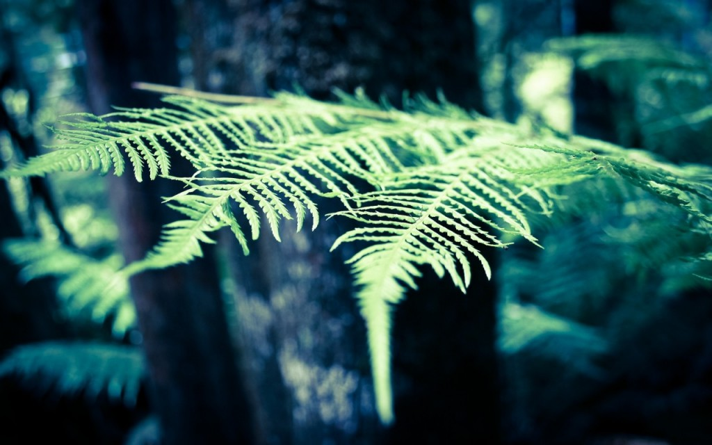 fern pictures wallpapers