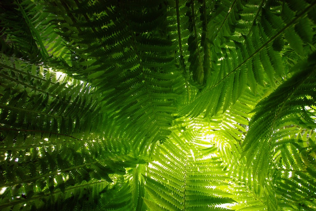 fern plants widescreen wallpapers