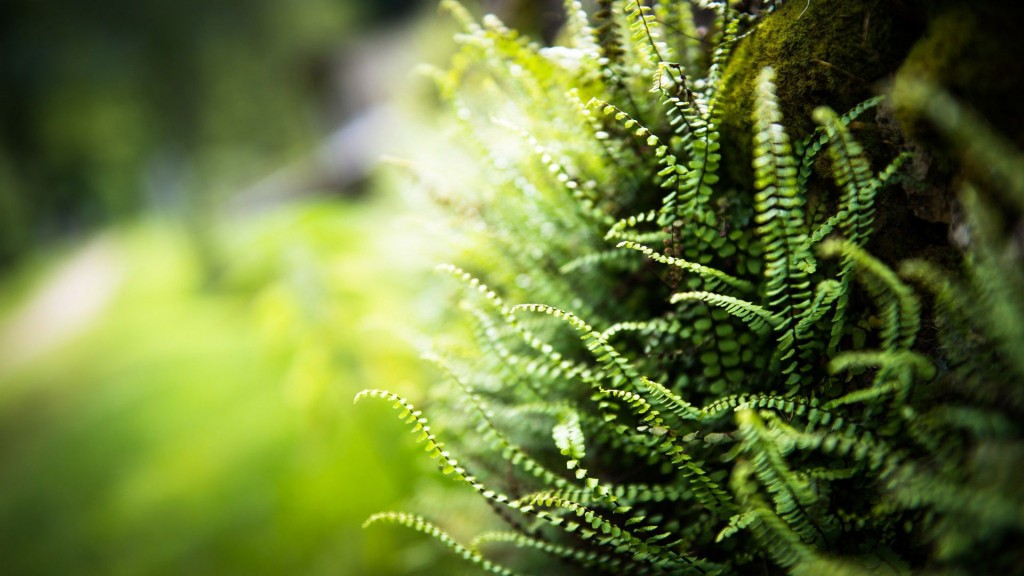 fern hd wallpapers