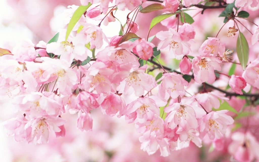 free-sakura-wallpaper-20966-21503-hd-wallpapers