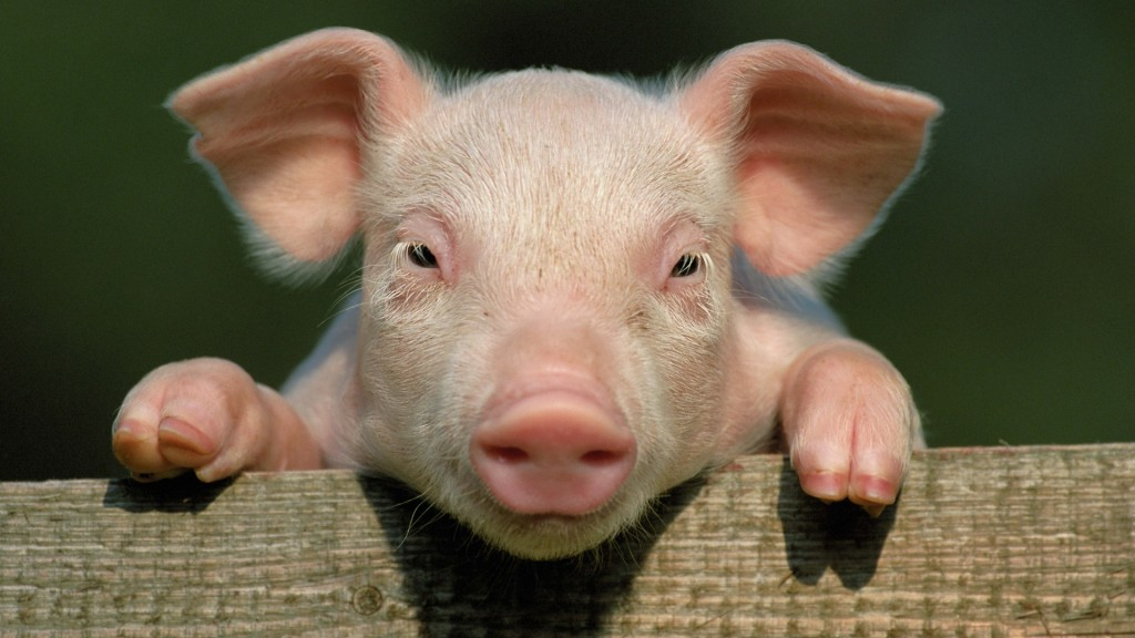 pigs hd wallpapers