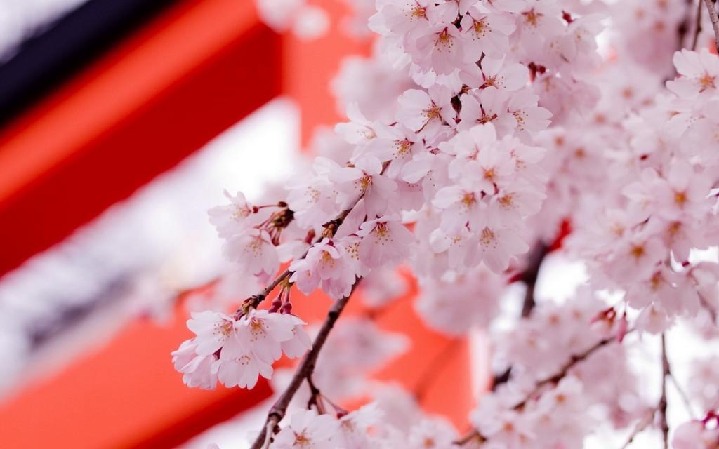 pretty-sakura-wallpaper-43396-44442-hd-wallpapers