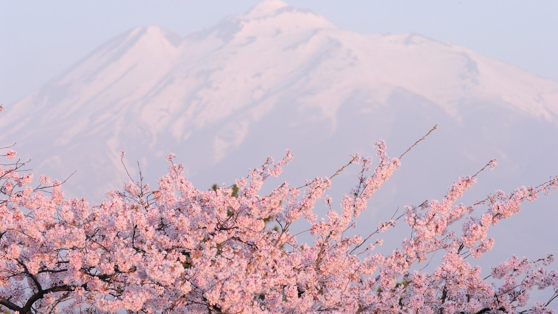 29 wonderful hd sakura wallpapers - Sakura desktop ...