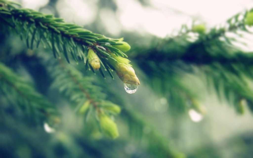 spruce nature background wallpapers
