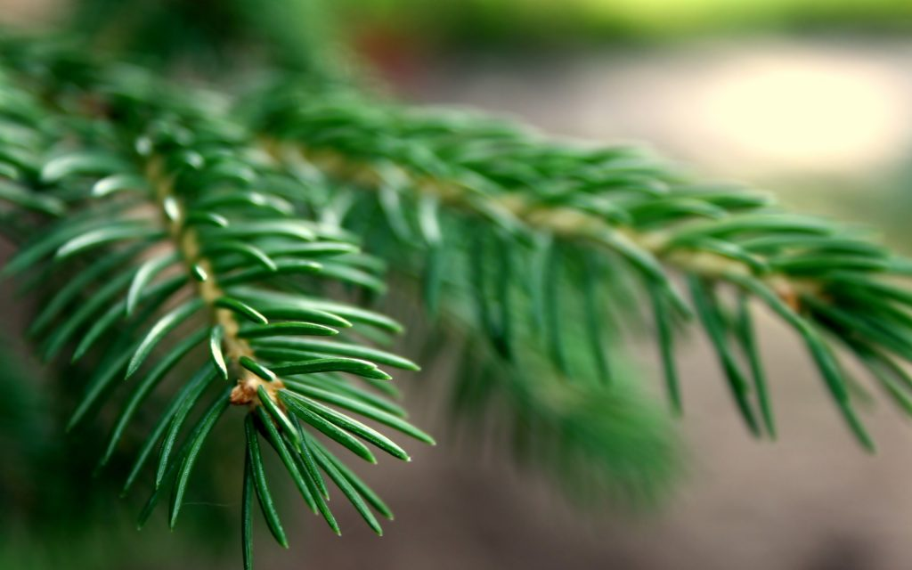 spruce wallpaper background wallpapers