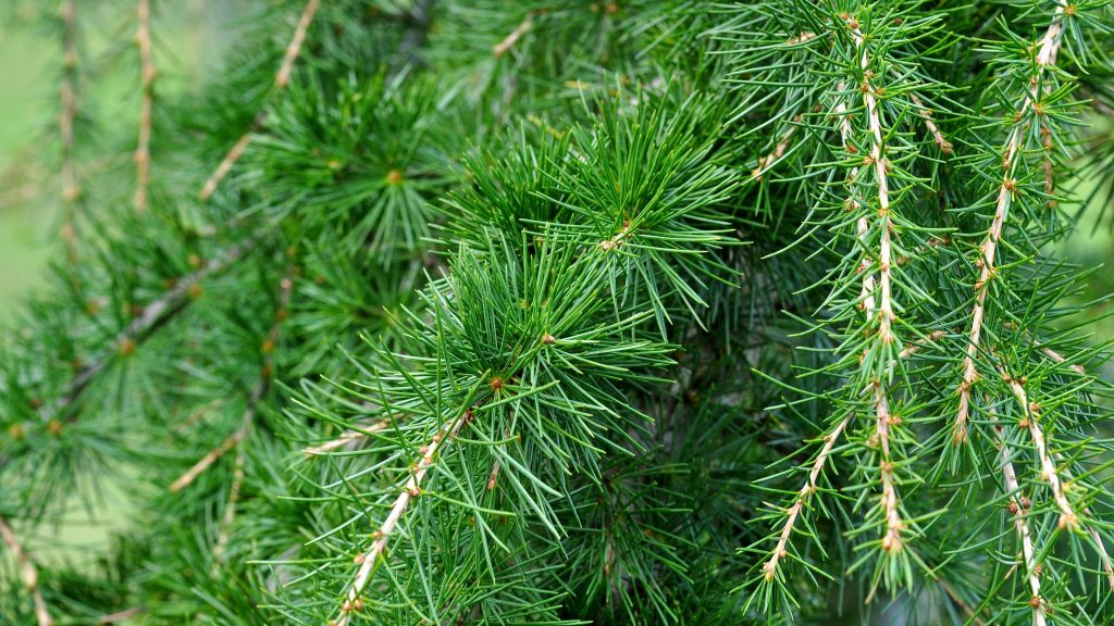 spruce widescreen wallpapers