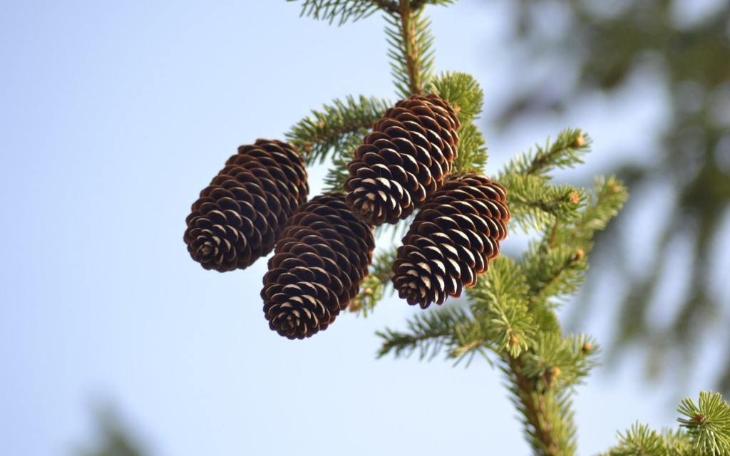 wonderful pine cone wallpapers