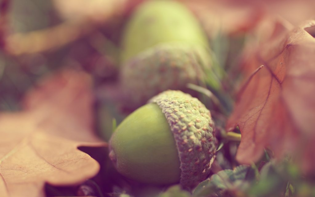 acorn background wallpapers
