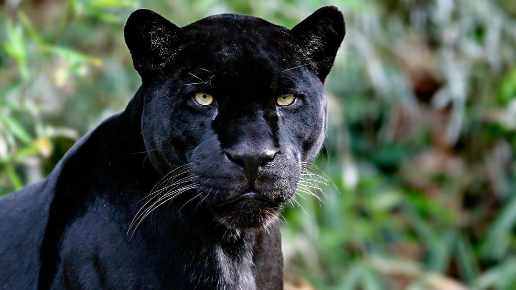 black panther animal computer wallpapers