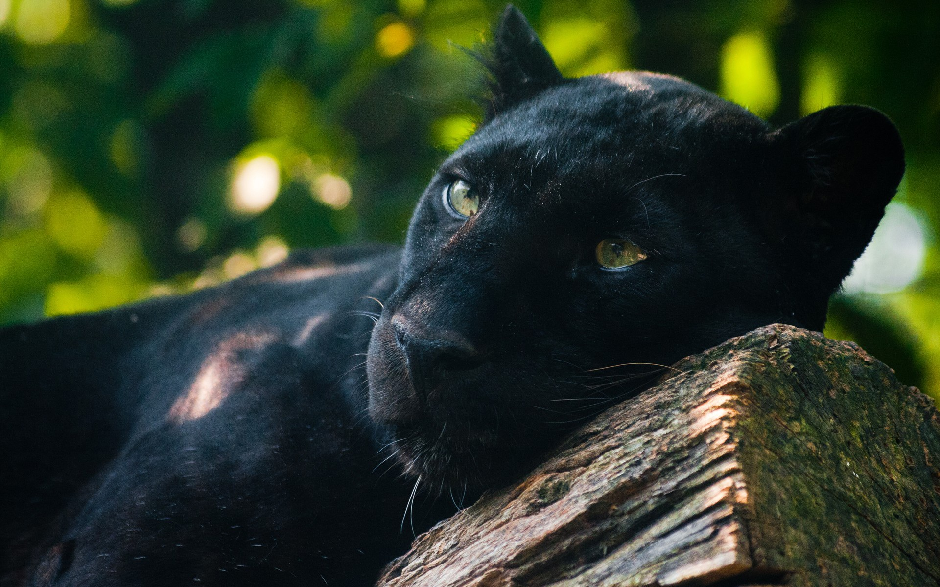 27 excellent hd black panther wallpapers - Jaguar animal hd wallpapers ...