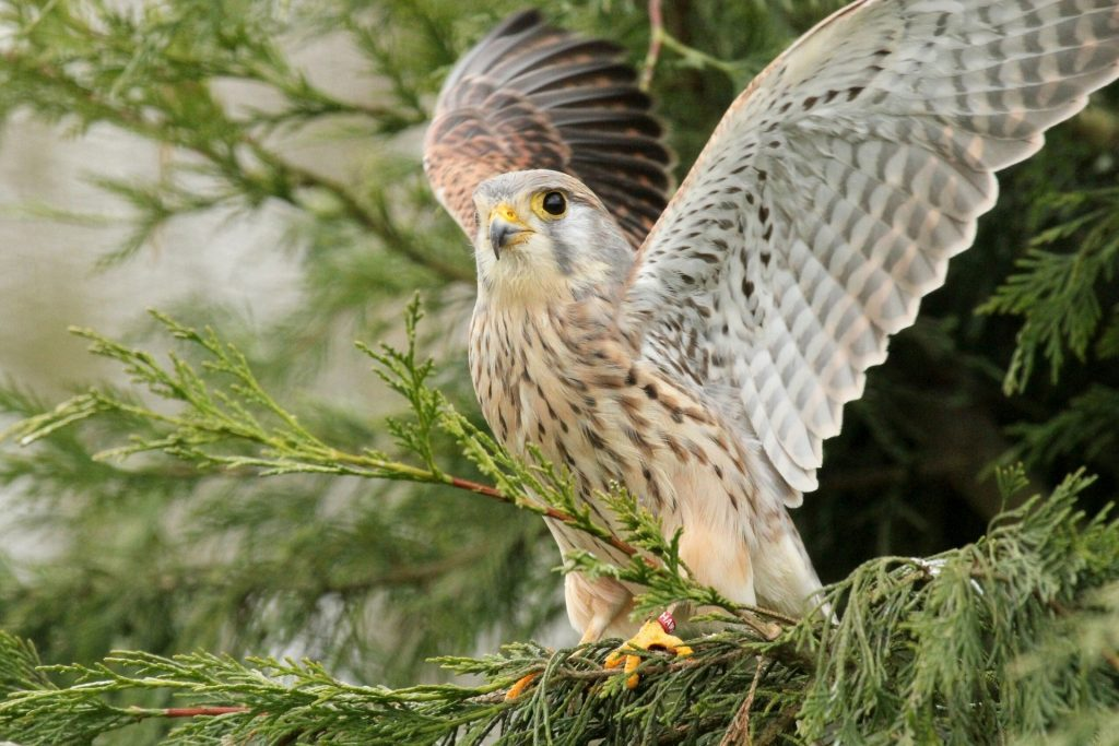 falcon bird wallpapers