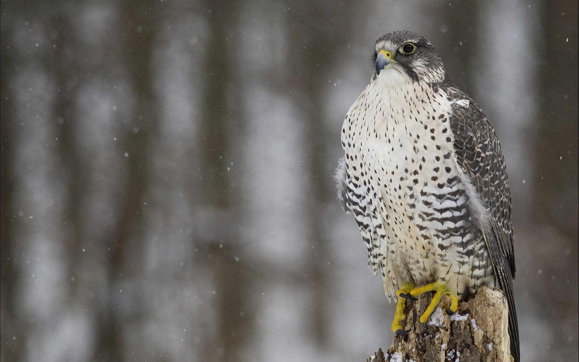 Falcons Wallpaper: 22 Excellent HD Falcon Bird Wallpapers