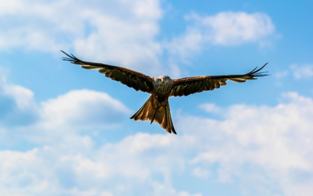 flying falcon bird widescreen wallpapers